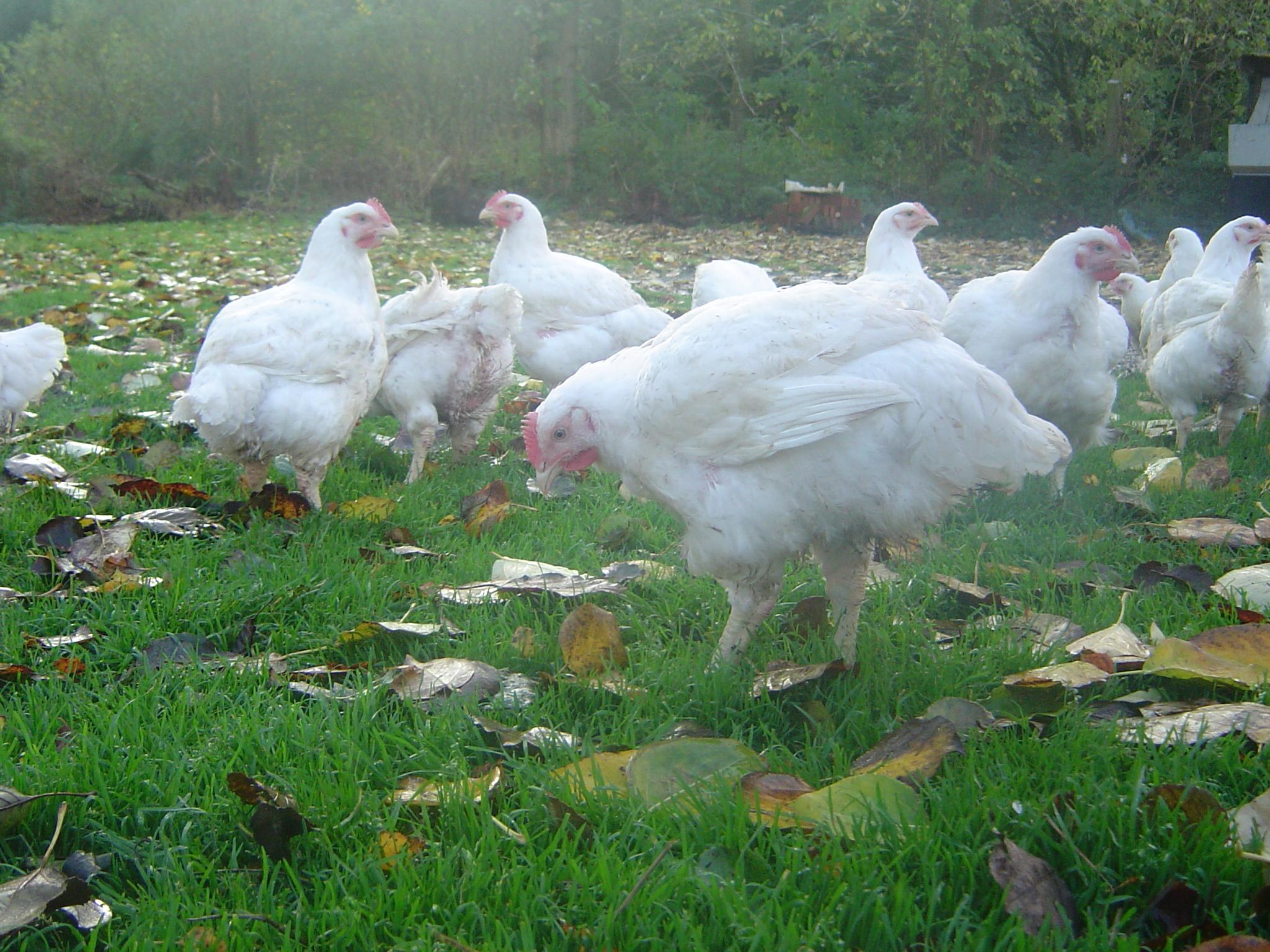Kylling på friland (3)